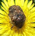 bumble flower beetle? - Euphoria inda