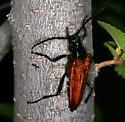 Tarantula hawk mimic - Stenelytrana gigas