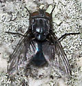 Blue Blow Fly - Calliphora