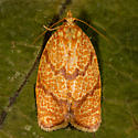 Four-lined Leafroller - Argyrotaenia quadrifasciana