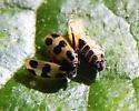 Parasitoid Cucumber Beetle