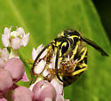 Yellowjacket - Vespula sp. - Dolichovespula arenaria - male