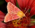Unknown moth - Schinia volupia