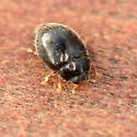 Tiny Black Beetle - Stethorus punctillum