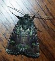 Moth in Riley County, Kansas  - Lacinipolia renigera