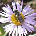 Hymenoptera 7-13-11 01a - Osmia coloradensis