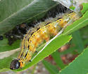 Angle-lined Prominent caterpillar - Clostera inclusa