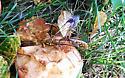 Ichneumon Wasp - Megarhyssa greenei - female