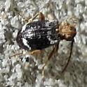 Tiny black long-horned beetle with horizontal white markings - Ptinus variegatus