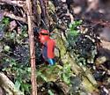 Alcimosphenus licinus - Dominican Spider - Alcimosphenus licinus - female