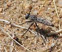 small Robber Fly - Lestomyia