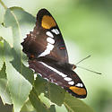 Butterfly - Adelpha eulalia