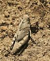 Which Grasshopper Please - Dissosteira carolina - female