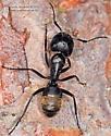 Camponotus ? - Camponotus pennsylvanicus