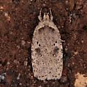 Agonopterix argillacea