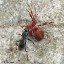 Sad day for this spider - Agenioideus humilis - female