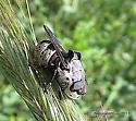 Botfly? - Cuterebra buccata