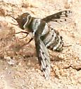Bee Fly, spotted wings, black - Lepidanthrax