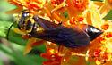 Great Golden Digger Wasp, dorsal - Sphex ichneumoneus