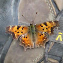 Green Comma? - Polygonia faunus