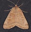Caenurgina crassiuscula