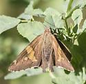 Butterfly - Epargyreus clarus