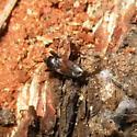 Rhyparochromidae 01 - Eremocoris
