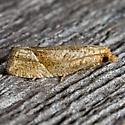 Derelict Eucosma - Pelochrista derelicta