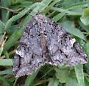 Moth - Euparthenos nubilis