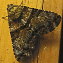 Coenipeta bibitrix  - Coenipeta bibitrix