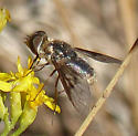 Bee fly with wing spots