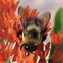 Bumblebee on Butterfly Milkweed - Bombus griseocollis - male