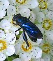 Chalcosyrphus chalybeus