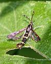 Clearwing moth - Synanthedon bibionipennis