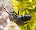 Late season bee on goldenrod - Lasioglossum fuscipenne - male