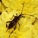 Reduviidae? - Leptoglossus occidentalis