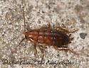 8023326 roach - Parcoblatta