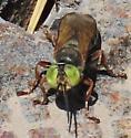 Green-eyes, white-banded abdomen, long antennae, amber wings, fly? - Tachytes distinctus - male