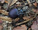 Snail-eating Beetle sp.? - Scaphinotus viduus