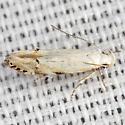Twirler Moth - Hodges #1833 - Coleotechnites variiella