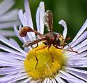 Conopidae? - Physocephala burgessi