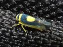 leafhopper - Colladonus clitellarius