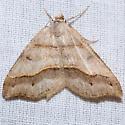 Lorquin's Angle Moth - Macaria lorquinaria - female