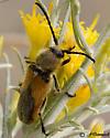Long-horned Beetle - Crossidius punctatus