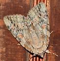 Large patterned moth - Catocala