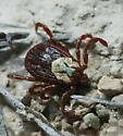 A Tick. - Dermacentor andersoni
