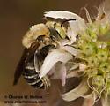 Anthophora sp.? - Trachusa manni - male