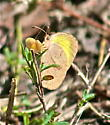 Barred Yellow Butterfly  (Eurema daira) - Eurema daira