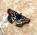 possible Checkerspot Butterfly? - Chlosyne leanira
