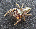 jumping spider  - Eris